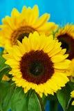 Solrosor Royaltyfria Foton