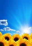 Solrosor Blå sky, oklarheter royaltyfri foto