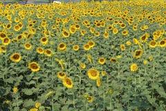 Solrosor blomma för solrosor Royaltyfri Foto