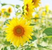 Solrosor eller hellanthus i sommar Royaltyfri Fotografi