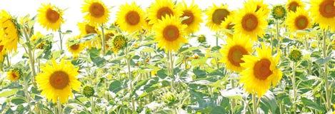 Solrosor eller hellanthus i sommar Arkivbild