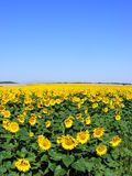solrosor för blå sky royaltyfri fotografi
