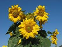 solrosor för blå sky för bakgrund Royaltyfri Bild