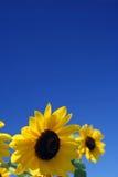 solrosor för blå sky under Royaltyfria Bilder