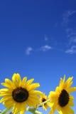 solrosor för blå sky under Royaltyfri Bild