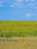 solrosor för fältblommaprydnad Arkivbild
