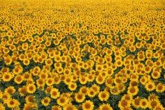 solrosor för fältblommaprydnad Arkivfoto