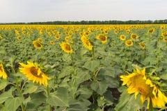 solrosor för fältblommaprydnad royaltyfri fotografi