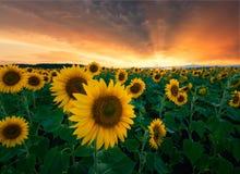 Solrosor förväntar solnedgången, för sommarstormen Arkivbilder