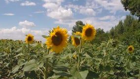solrosor f?r f?ltblommaprydnad Solrosor som svänger i vinden mot en blå himmel med vita moln lager videofilmer