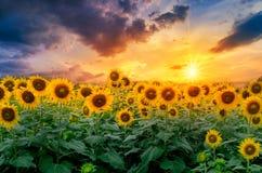 Solrosor full blom och ljus i morgonen arkivfoton