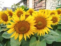 Solrosor Gult grönt, blommor av solen Bakgrund växter royaltyfri foto