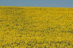 Solrosor i blom Arkivfoton