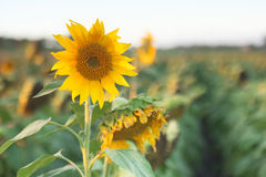 Solrosor i ett fält i eftermiddagen Arkivfoton