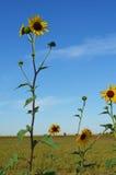Solrosor i ett fält med blå himmel royaltyfri bild