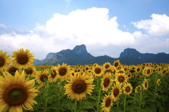 Solrosor i fältet med berget Arkivbild