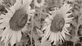 Solrosor i fältet, närbildsikt lager videofilmer