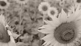 Solrosor i fältet, närbildsikt arkivfilmer