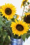 Solrosor i Galvanized kan royaltyfria foton