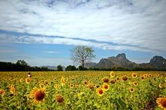 Solrosor i Lopburi, Thailand Royaltyfri Fotografi