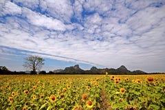 Solrosor i Lopburi, Thailand Arkivfoto