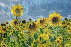 Solrosor i regn Fotografering för Bildbyråer