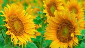 Solrosor i solig blåsig dag för sommar