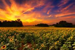 Solrosor i solnedgången Fotografering för Bildbyråer