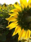 Solrosor i sommar fotografering för bildbyråer