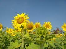 Solrosor i sommar royaltyfria bilder