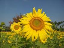 Solrosor i sommar arkivbild