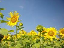 Solrosor i sommar royaltyfria foton