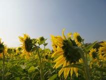 Solrosor i sommar arkivfoto