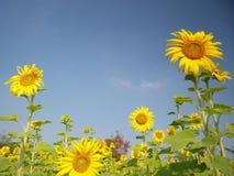 Solrosor i sommar arkivbilder