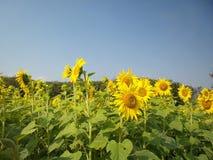 Solrosor i sommar arkivfoton