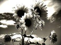 Solrosor i svartvitt Royaltyfria Bilder
