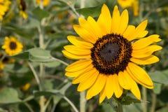 Solrosor i trädgård Royaltyfria Bilder