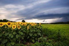 Solrosor med åskväder Arkivbild