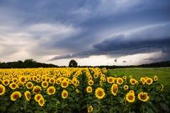 Solrosor med åskväder Fotografering för Bildbyråer