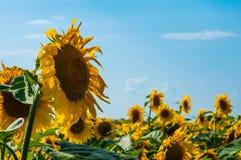 Solrosor med och blå himmel på en bakgrund Fotografering för Bildbyråer