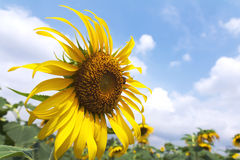 Solrosor och bi med den blåa skyen Royaltyfria Foton