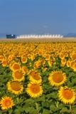 Solrosor och flygplatser Royaltyfri Fotografi