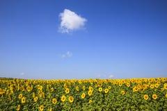 Solrosor och himmel Royaltyfri Fotografi