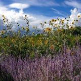Solrosor och lavendel royaltyfria bilder