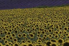Solrosor och lavendel i fältet Söder-Frankrike arkivfoto