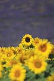 Solrosor och lavendelfält i Provence Royaltyfri Foto