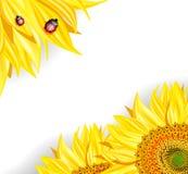 Solrosor och nyckelpigor Royaltyfria Bilder