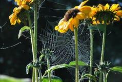 Solrosor och spindelnät Royaltyfria Foton