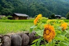 Solrosor och stuga i risfält Royaltyfri Bild