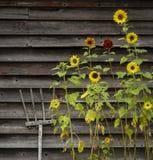 Solrosor och trähögaffel på ladugårdväggen royaltyfri fotografi